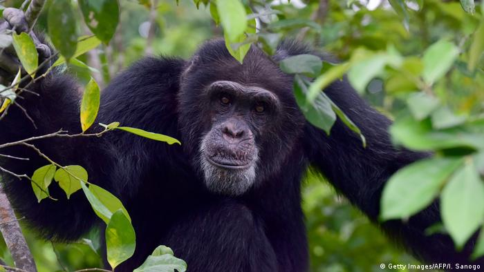 A chimpanzee sits in a tree near the town of Grand Lahou in Ivory Coast