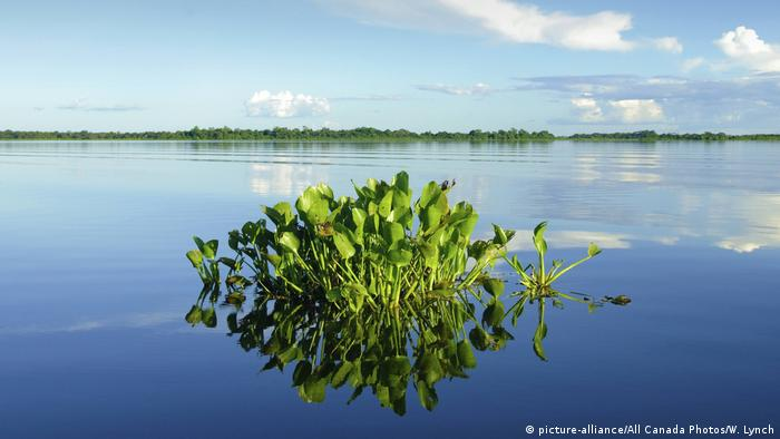 A clump of water hyacinth sprouting out of blue water (photo: picture-alliance/All Canada Photos/W. Lynch)