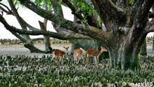 Bangladesch Sundarbans Khulna Reh
