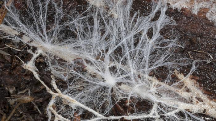Pilzmyzel von einer nicht identifizierten Pilzart, das sich unter der Rinde eines verrottenden Baumastes befindet (imago)