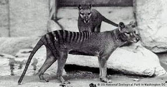 Tasmanian tiger (US National Zoological Park in Washington DC)