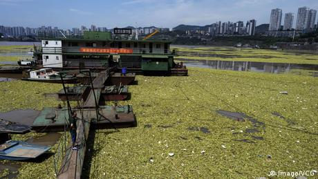 Photo: Water lettuce floating on the Yangtze River (Source: Imago/VCG)