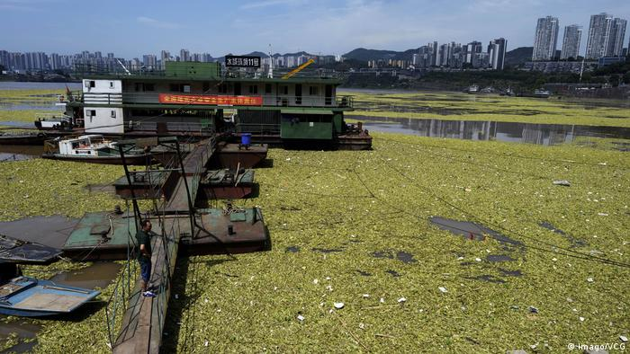 Water lettuce floating on the Yangtze River