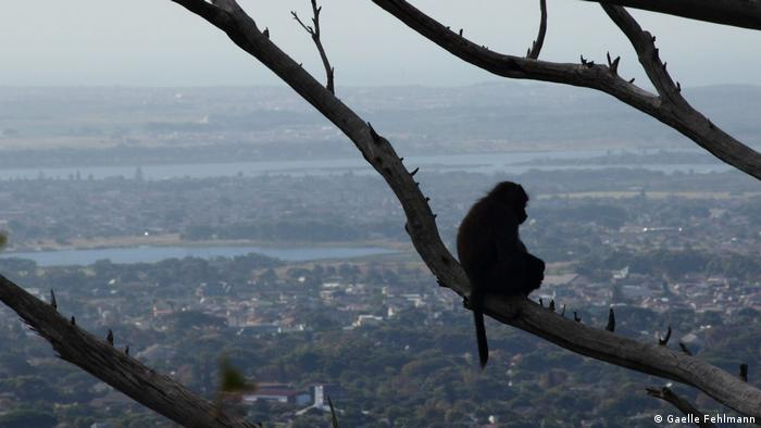 DW eco@africa - Baboons in South Africa