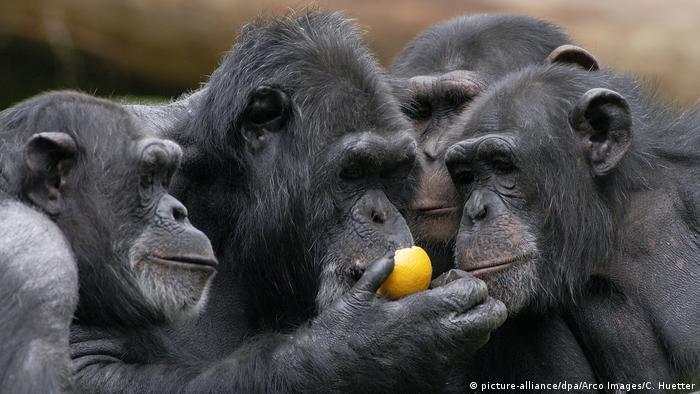 Vier Schimpansen sitzen eng beieinander, einer beißt in einen Apfel, die anderen schauen zu