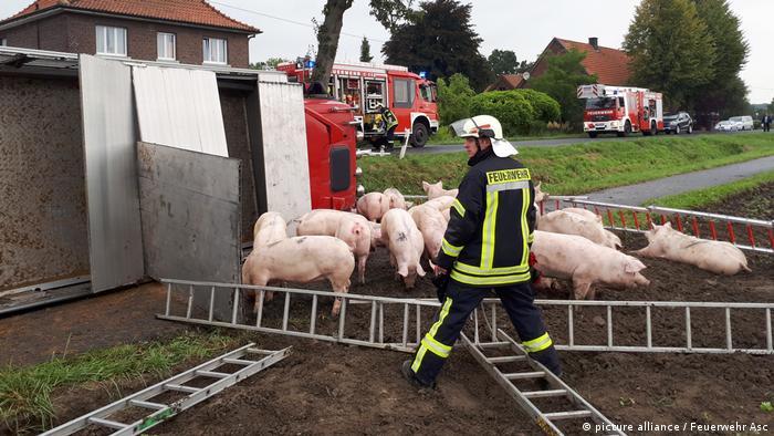Свиньи под присмотром