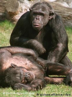 جفت گیری شامپانزه شامپانزهها و جفتگیری در ازای غذا | دانش و فناوری | DW.DE ...