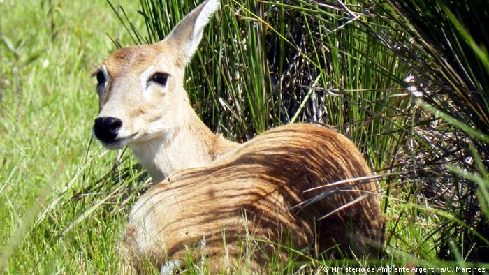 Südamerika Artenschutzprojekt Extincion Cero Pampashirsch (Ministerio de Ambiente Argentina/C. Martinez)