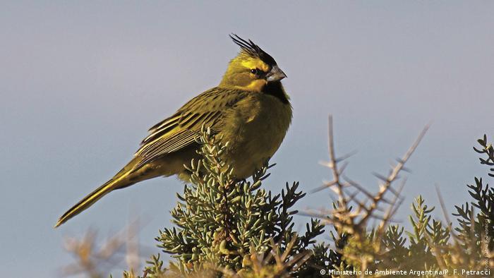 El cardenal amarillo es una de las especies en peligro de extinción que busca salvar el país sudamericano.