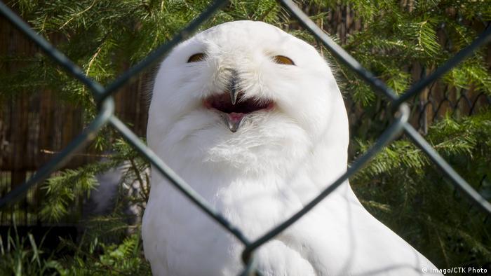 A snowy owl behind a fence