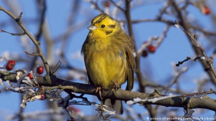 Yellow-breasted bunting, Emberiza aureola (picture-alliance/Mary Evans Picture Library)