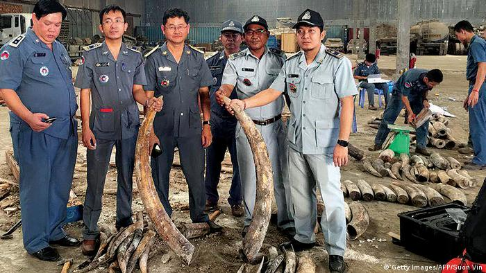Cambodian officials holding up elephant tusks