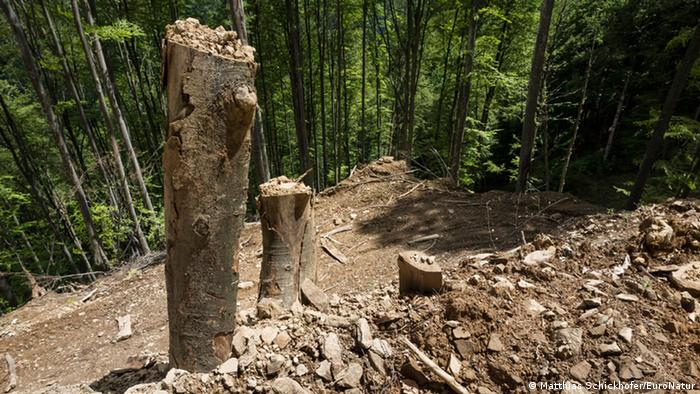 Massive forest devastation by logging of old growth beech forest in the heart of the national park in Romania