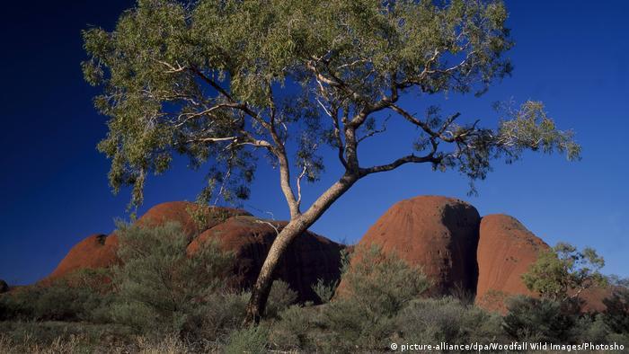 Australia, Bloodwood