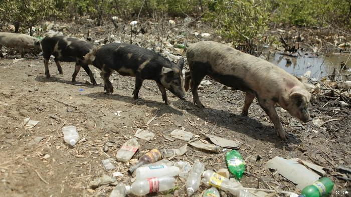 Pigs walking among old plastic bottles