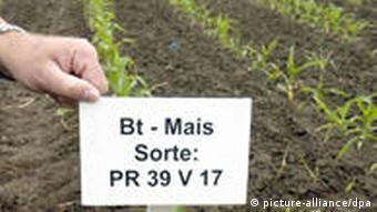 Gen-Mais-Anbau in der Altmark
