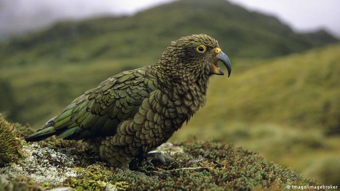 A New Zealand kea
