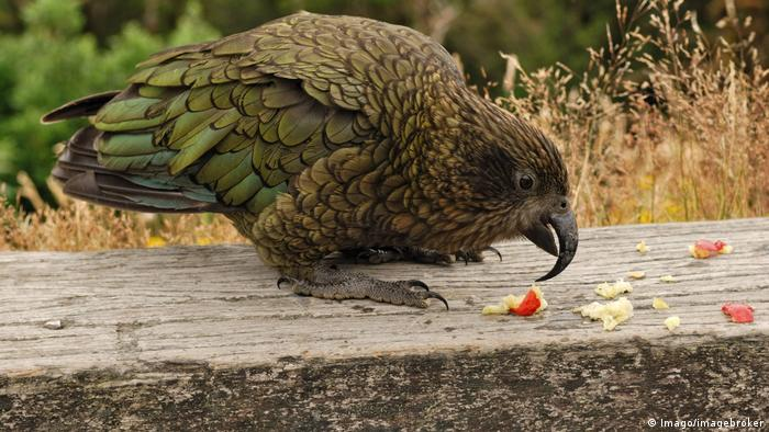 Neuseeland Kea-Papagei (Imago/imagebroker)