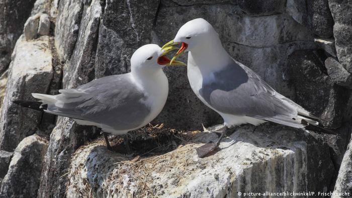 Two black-legged kittiwakes on a ledge