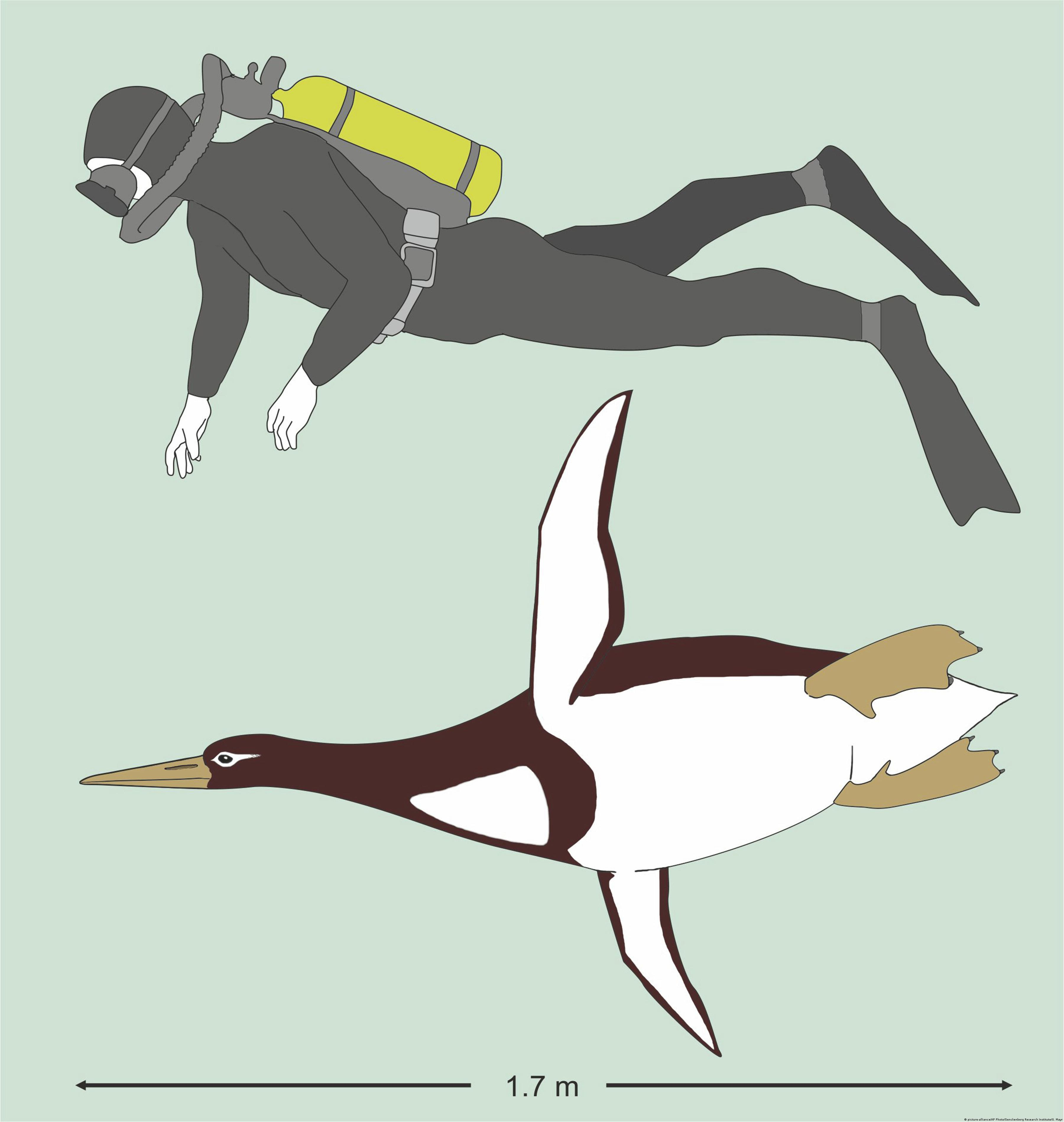 An illustration shows the sizes of an ancient giant penguin Kumimanu biceae and a human being.