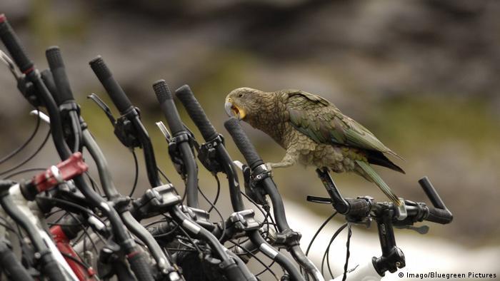 Kea-Papagei aus Neuseeland Südinsel (Imago/Bluegreen Pictures)