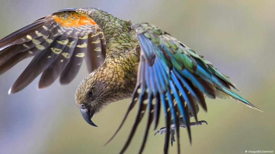 Giant Possibly Carnivorous Parrot Discovered In New Zealand
