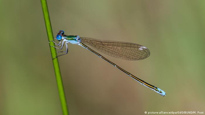 The pygmy damselfly perched on a green stalk (picture-alliance/dpa/GdO/BUND/M. Post)