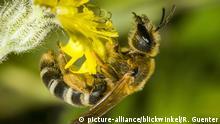 Gelbbinden-Furchenbiene