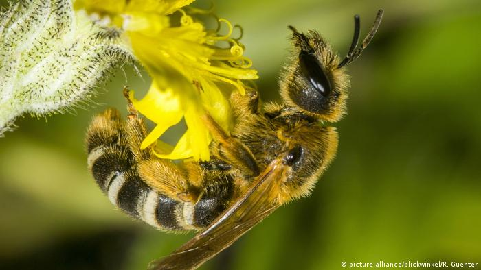 A Great Banded Furrow-bee on a yellow Hawkweed flower (picture-alliance/blickwinkel/R. Guenter)