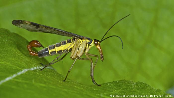 Common scorpionfly (picture-alliance/blickwinkel/H. Bellmann/F. Hecke)