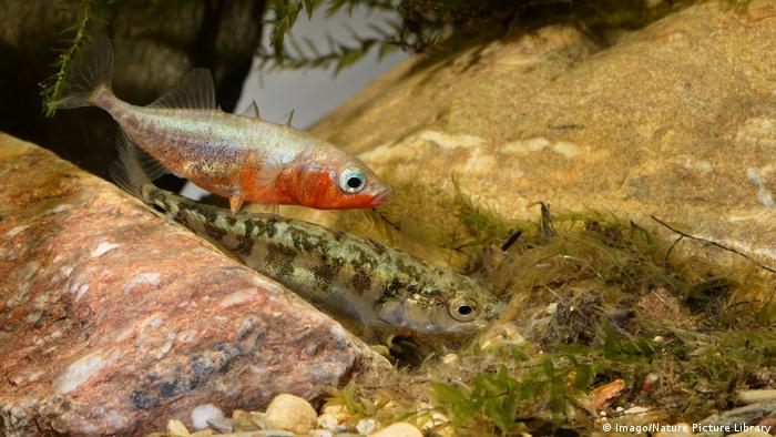 Two three-spined stickleback (Imago/Nature Picture Library)