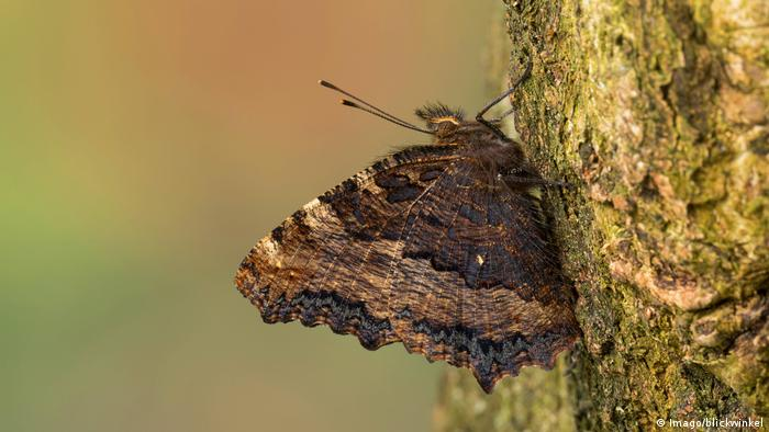 A large tortoiseshell butterfly on a tree (Imago/blickwinkel)