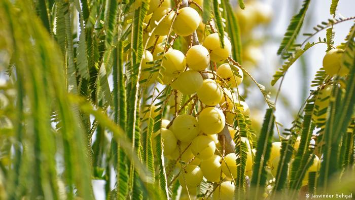Gooseberries on a stalk (Jasvinder Sehgal)