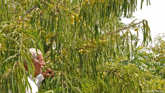 A man walking under green branches laden with fruit
