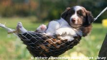 Border Collie dog lazing in a hammock (picture-alliance/Mary Evans Picture Library)