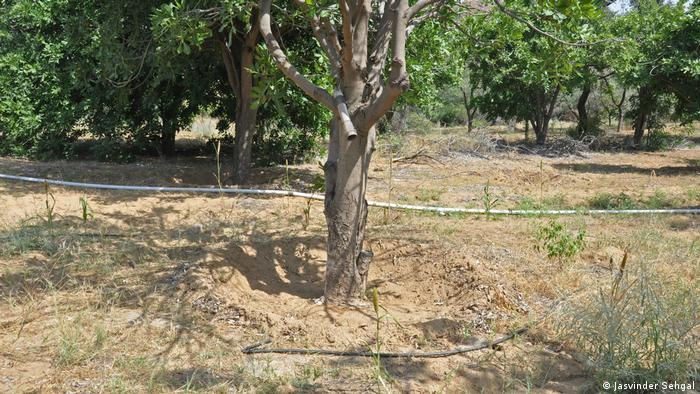 A hose runs along the ground to drip irrigate the desert fruit trees (Jasvinder Sehgal)