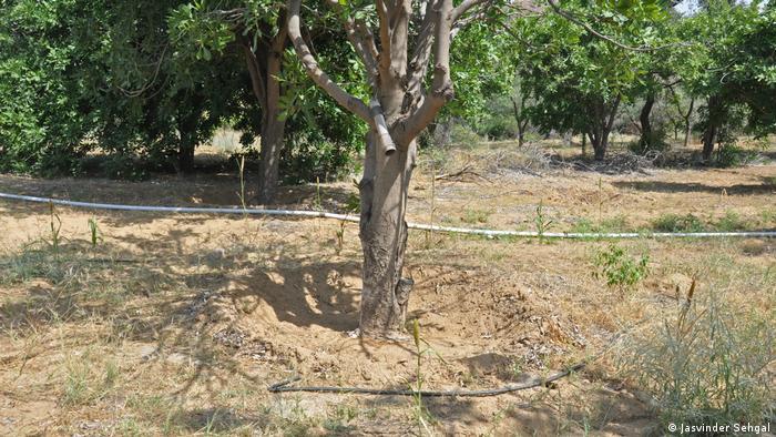 A hose runs along the ground to drip irrigate the desert fruit trees