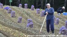 In this photo taken Saturday, Aug. 28, 2017, Belarusian President Alexander Lukashenko stands in a field as he harvests potatoes in the presidential residence, outside Minsk, Belarus. (Andrei Stasevich/BelTA Pool Photo via AP) |