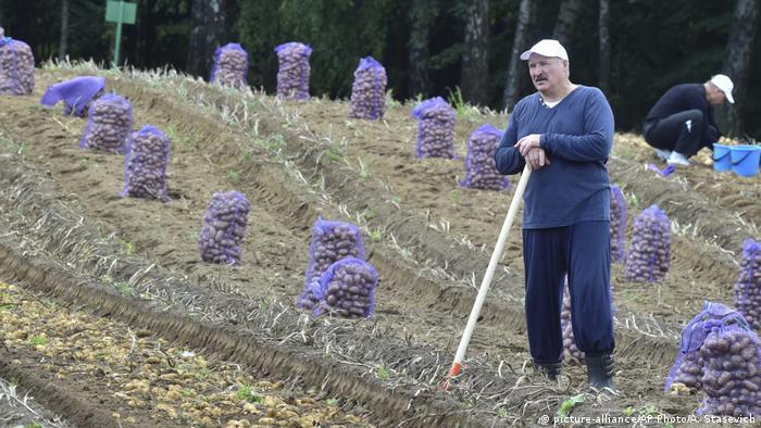 Лукашенко на уборке картошки
