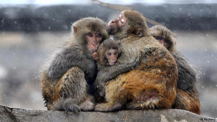 Monkeys in China hugging one another, with baby in the middle.