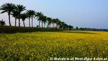 Mustard field and date palm trees in Manikganj, Bangladesh.