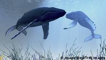 Buckelwale im Schlaf
