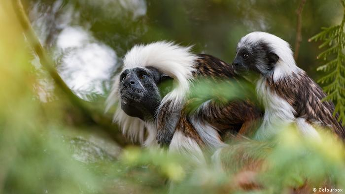 Image of cotton top tamarin monkey family on a tree branch.