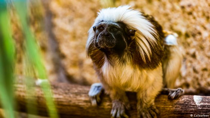 A titi cotton-top tamarin monkey sits in repose.