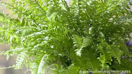 Pflanze Schwertfarn - Nephrolepis exaltata (picture-alliance/VISIONSPICTURES)