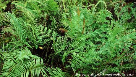 Pflanze - Boston Fern - Schwertfarn (picture alliance/Photoshot/B. Coleman)