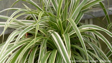 Pflanze - Grünlilie - Chlorophytum comosum (picture alliance/dpa/A. Warnecke)