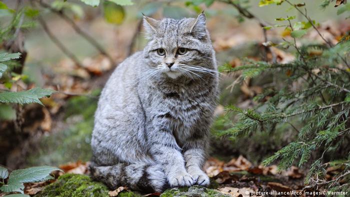 Лесная кошка в Баварском лесу