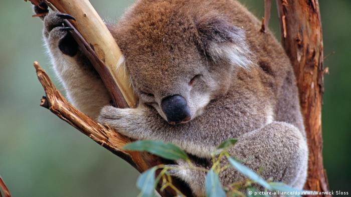 A koala sleeps on a branch