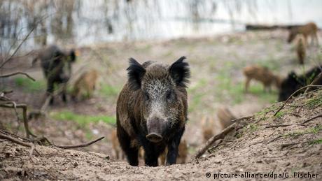 Уряд ФРН занепокоєний поширенням африканської чуми свиней